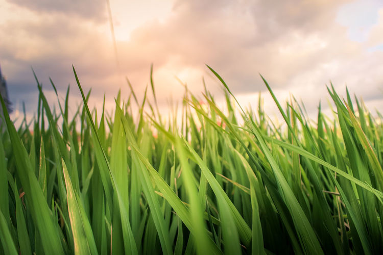 rice leaves waving because of the wind Agriculture Plant Field Growth Nature Sky Cereal Plant Land Crop  Cloud - Sky Landscape Rural Scene Green Color Beauty In Nature Tranquility Farm Close-up Grass No People Wheat Outdoors Blade Of Grass