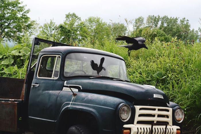 Classic Car Car Truck Crow Bird Bird Photography Reflection Reflection_collection