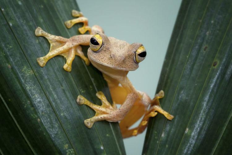 Close-Up Portrait Of Tree Frog On Leaf