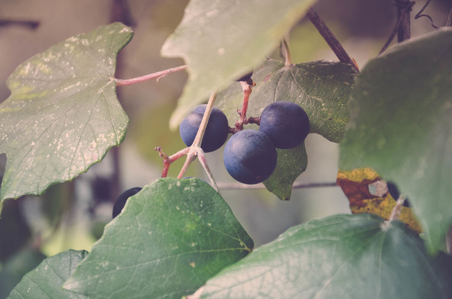 Beauty In Nature Close-up Day Food Food And Drink Freshness Fruit Grapes Green Color Growth Leaf Nature No People Outdoors Plant Wild Grapes