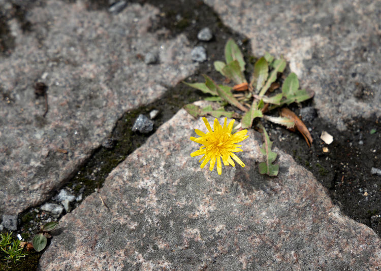 spring flower Flower Flowering Plant Plant Freshness Fragility Yellow Vulnerability  Nature No People Beauty In Nature Close-up Flower Head Day Outdoors Petal Growth Meager Poor  Arid Climate Lifestyles Rock Rock - Object Cobblestone