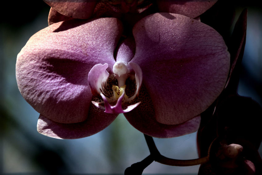 Beauty In Nature Close-up Flower Flower Head Fragility Nature Orchid Petal Plant