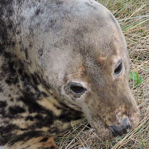A great morning at Donna Nook ... DonnaNook Donnanookseals Englishcoastline Seals NatureReserve Lincolnshirewildlifetrust Lincolnshire Sealpups EyeEm Nature Lover