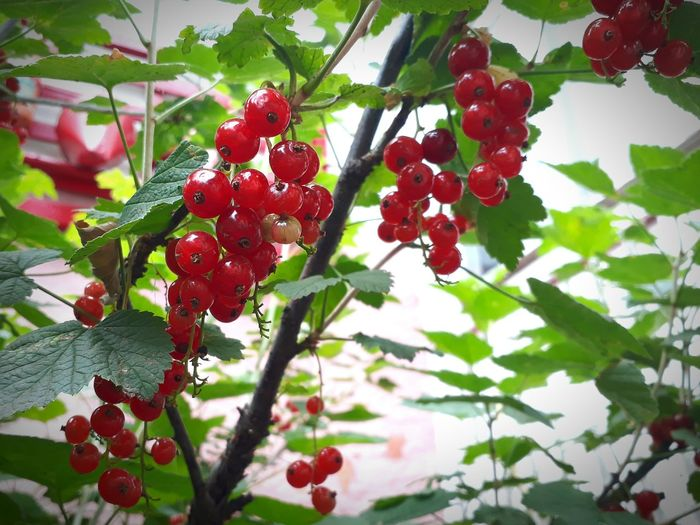 Redcurrant Nature_collection Berry Fruit Food And Drink Outdoors No People Freshness Food Plant Beauty In Nature Healthy Eating Fruit Tree Red Growth Day Branch Leaf Nature Focus On Foreground Close-up