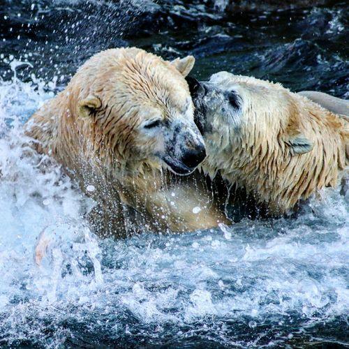 Close-Up Of Wet Polar Bears On Snow