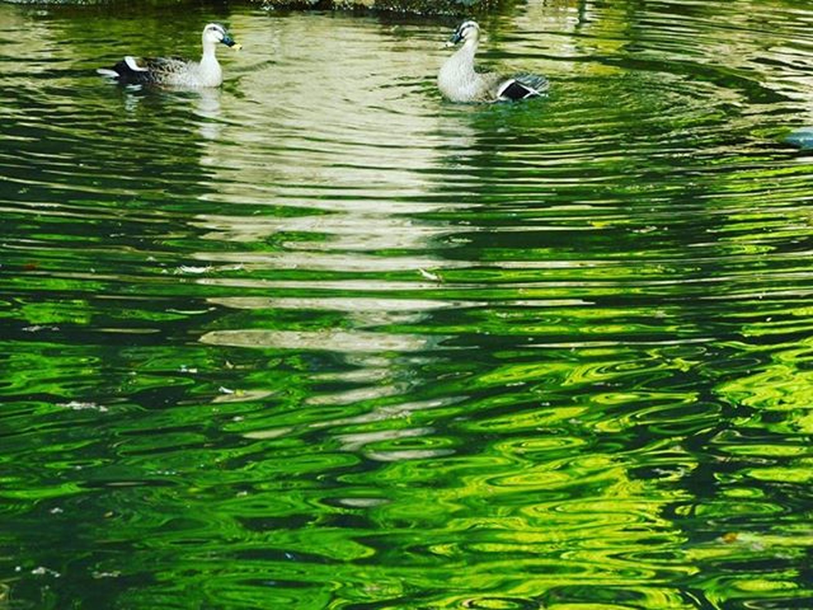 animal themes, bird, animals in the wild, water, wildlife, lake, swimming, duck, water bird, reflection, high angle view, swan, waterfront, rippled, one animal, two animals, nature, floating on water, medium group of animals, outdoors