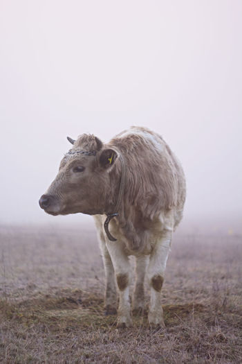 Cow standing on land against sky during foggy weather
