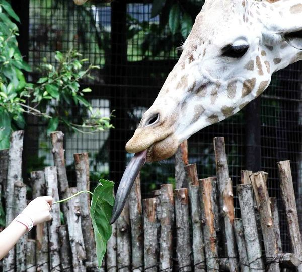 Cropped Image Of Person Feeding Giraffe In Zoo