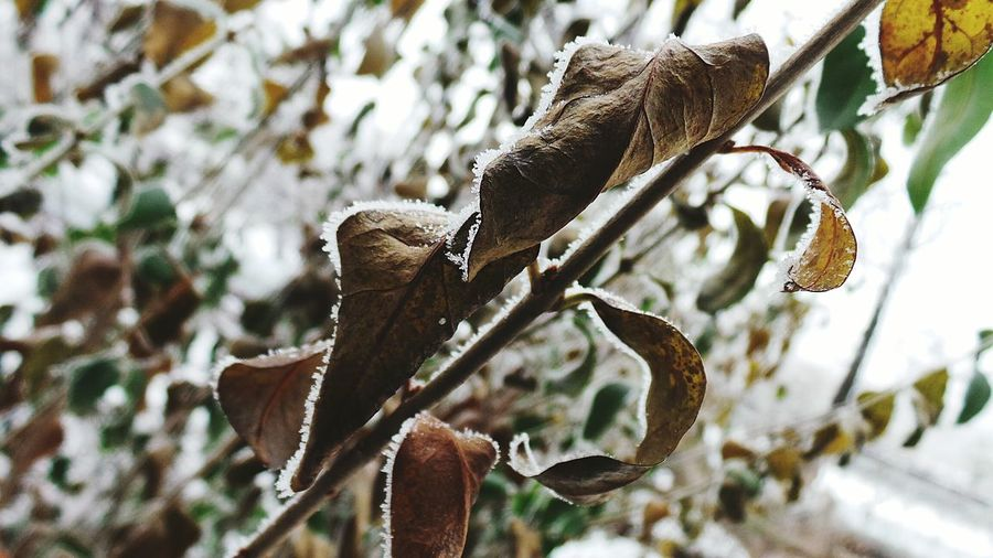 Focus On Foreground Nature Tree Close-up No People Branch Outdoors Tranquility Growth Low Angle View Beauty In Nature Frosty Mornings Winter Cold Temperature Macro Beauty Roses, Flowers, Nature, Garden, Bouquet, Love, Macro_collection Backgrounds Full Frame Snow Frost Flowers,Plants & Garden Leaf Growth Fragile Beauty