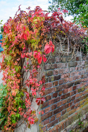 Red flowering plants on brick wall