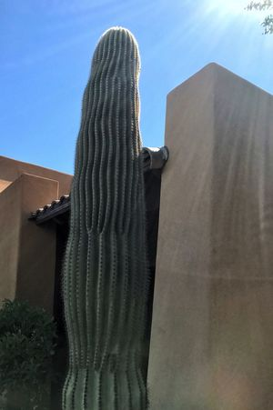Tall saguaro in front of southwestern style building Built Structure Low Angle View Building Exterior Architecture Outdoors Day No People Sky Statue Nature Cactus 😚 Cacti Saguaro Cactus Saguaro Cactus Collection Desert Desert Beauty Desert Life Pueblo Southwest  Southwestern Usa Sun Rays Sun Sunlight