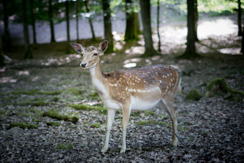 Deer in the woods Animal Animal Themes Animal Wildlife Animals In The Wild Day Deer Domestic Animals Fawn Focus On Foreground Forest Herbivorous Land Mammal Nature No People One Animal Outdoors Plant Portrait Standing Tree Vertebrate Wildlife