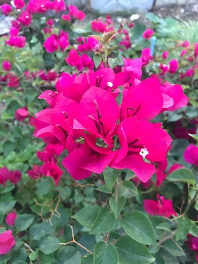 Flower #pink