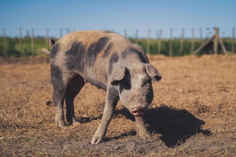 Full length of pig standing on field