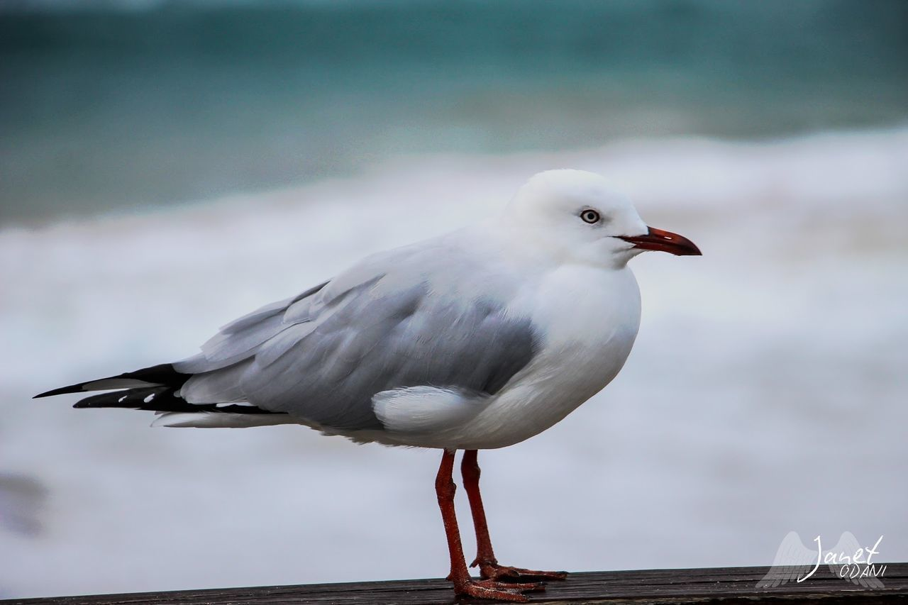 bird, animals in the wild, animal themes, animal, animal wildlife, vertebrate, one animal, perching, seagull, day, focus on foreground, no people, water, nature, sea bird, close-up, full length, sea, white color