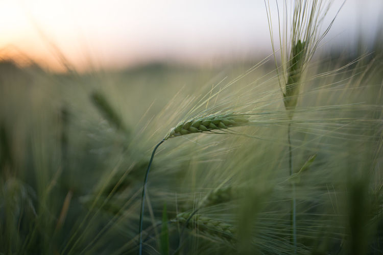 Close-up of wheat crop in field