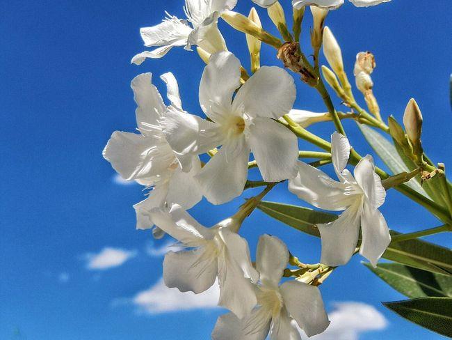Spain♥ Blossoms  White Flower Karen Grace Andalucía