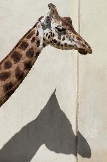 Antwerpen Zoo Focus On Shadow Outdoors Animal Head  Animal Themes Sunlight Giraffe♥ belgium
