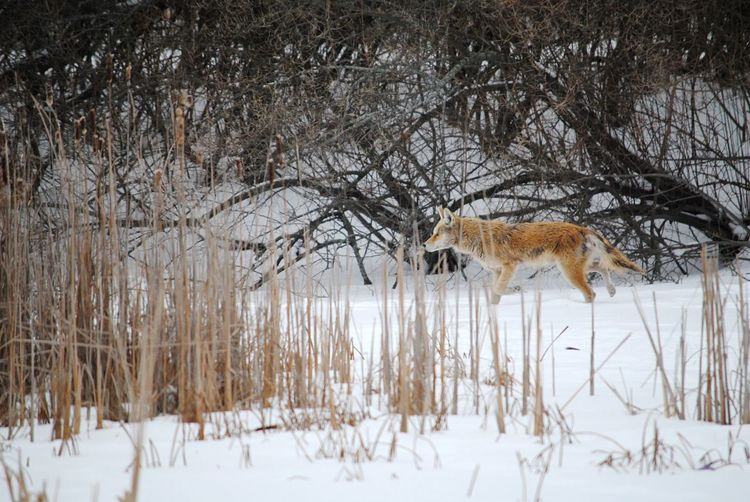 Downtown Coyote Coyote Snow Cold Temperature Winter Animal Animal Themes Mammal Tree Beauty In Nature Field Environment Forest No People Vertebrate Nature One Animal Animal Wildlife Animals In The Wild