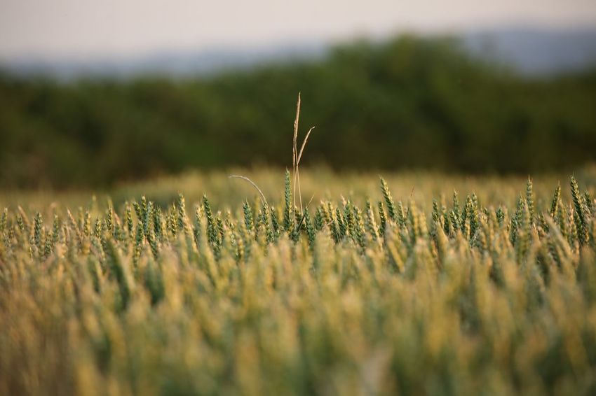 The look out... Wheat EyeEm Selects Plant Growth Selective Focus Field Nature Beauty In Nature Land Tranquility No People Day Close-up Landscape Agriculture Outdoors Grass Crop  Rural Scene Green Color Environment Sunlight
