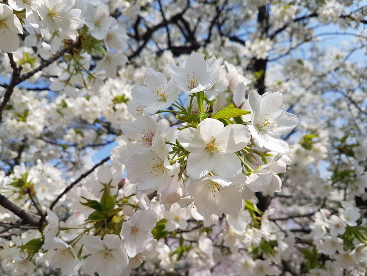 Cherry Blossoms Tokyo,Japan Beauty In Nature Close-up Flowering Plant Hanami Spring Springtime