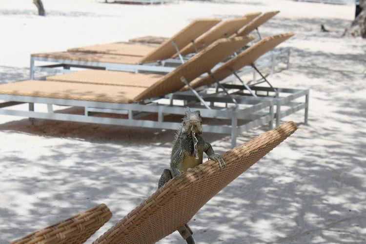 Iguana on lounge chair at beach