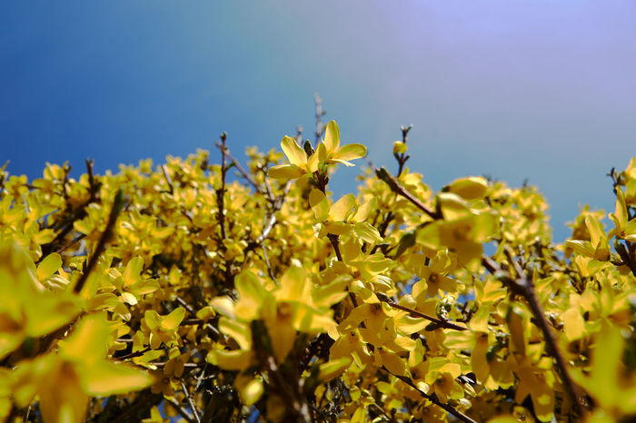 Agriculture Beauty In Nature Blossom Clear Sky Close-up Day EyeEm Nature Lover Flower Forsythia Fragility Freshness Growth Lookingup Low Angle View My Point Of View Nature No People Outdoors Plant Selective Focus Sky Springtime Sunshine Tree Yellow Perspectives On Nature
