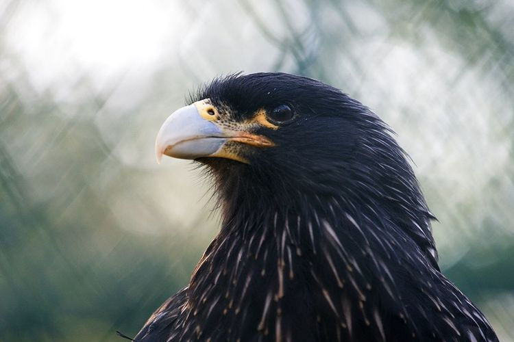 Focus On Foreground Animal Themes Animals In The Wild One Animal Beak Close-up Bird Day Bird Of Prey No People Nature Outdoors Animal Wildlife Bald Eagle Eagle Animals