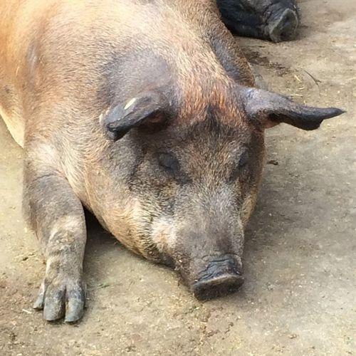 Let me sleep please Pig Schwein Animal