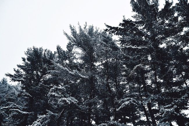 Tree Nature Low Angle View Beauty In Nature Winter Tranquility No People Day Growth Snow Outdoors Forest Cold Temperature Scenics Tranquil Scene Branch Sky Pine Tree Clear Sky