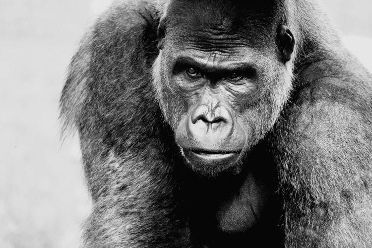 Portrait of gorilla looking away