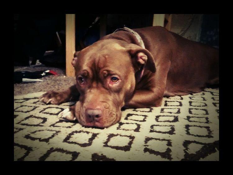 Those eyes Rednose Pitbull My Pitbull Dog Love Pets Family Mansbestfriend Dog That's My Dog