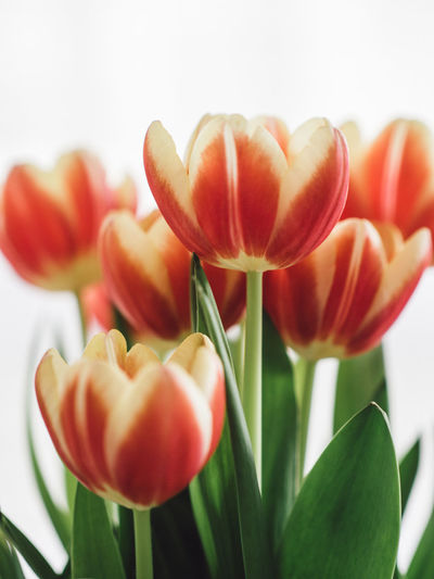 Tulip Tulips Easter Flower Head Spring Flower Freshness Flowering Plant Beauty In Nature Plant Vulnerability  Fragility Petal Close-up Growth Inflorescence Plant Part Nature Leaf No People Orange Color Red Focus On Foreground Flower Arrangement