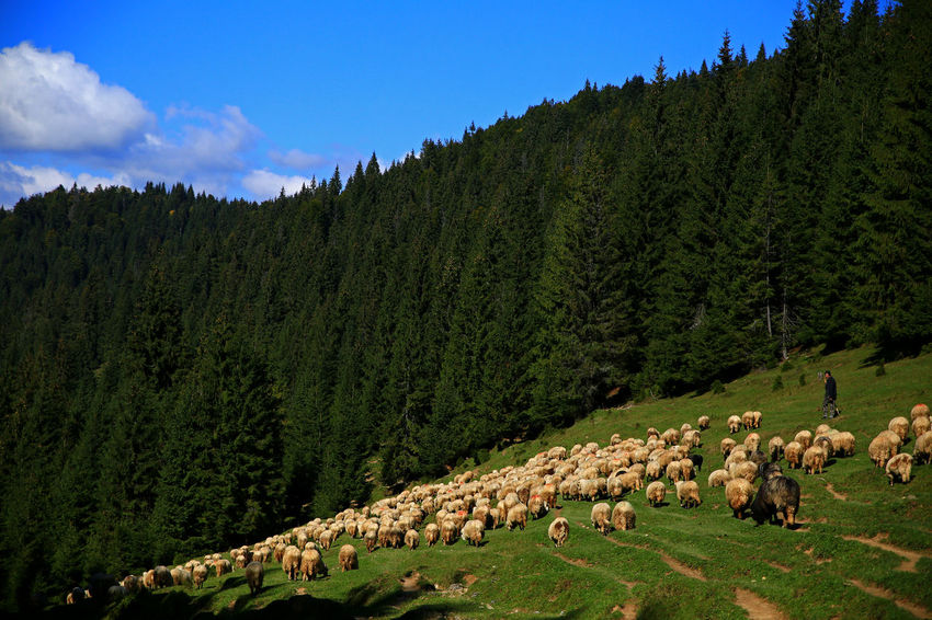 Perspectives On Nature Pine Forest Agriculture Animal Themes Beauty In Nature Day Domestic Animals Field Flock Of Sheep Grass Grazing Herd Landscape Large Group Of Animals Livestock Mountain Nature Outdoors Pine Tree Sheep Sky Transylvania💕 Tree
