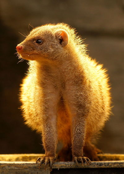 Close-Up Of Mongoose On Wood At Zoo