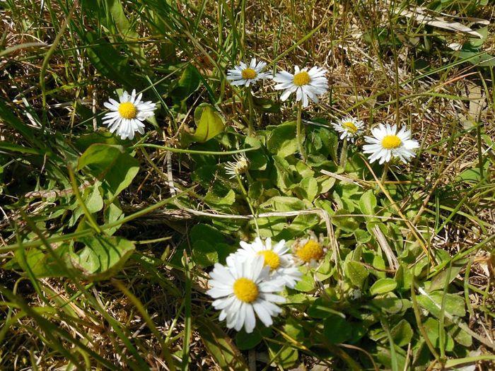 Daisy 🌼 Flower White Flower