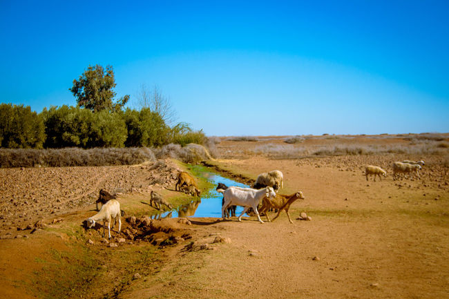 Agriculture Animal Themes Clear Sky Day Desert Landscape Nature No People Outdoors Sky Travel Destinations Tree Village Water