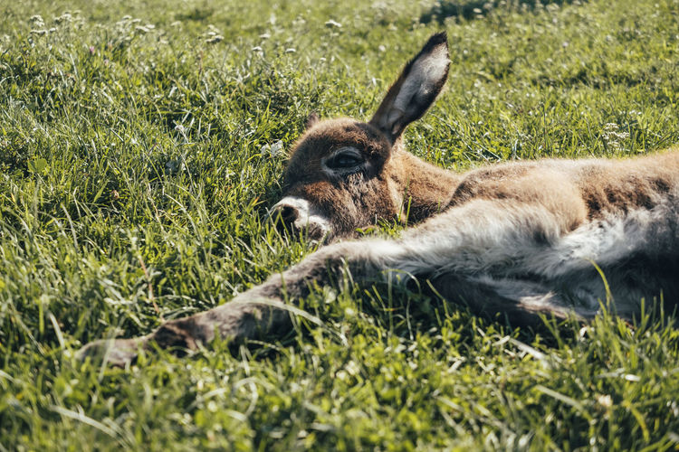 Donkey Donkeys Baby Baby Donkey Babydonkey Animal Mammal Animal Themes Grass One Animal Animal Wildlife Plant Animals In The Wild Nature Relaxation Field Vertebrate Land No People Day Domestic Animals Resting Green Color Lying Down Animal Body Part Animal Head  Outdoors Herbivorous My Best Photo