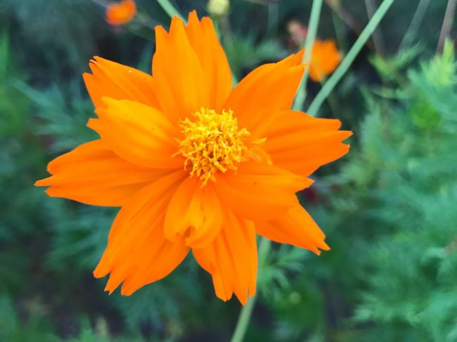 Flower Petal Freshness Orange Color Nature Flower Head Fragility Beauty In Nature Growth Yellow Plant Outdoors Blooming Day Close-up No People Marigold