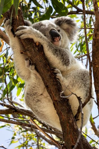 Low angle view of koala sleeping on tree branch