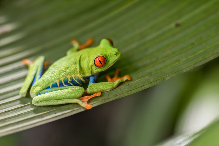 Close-up Nature Frog Travel Frosch Froschkönig Tiere Costa Rica Animal Laubfrosch Red Eyes Reisefotografie Red Eye Frog First Eyeem Photo