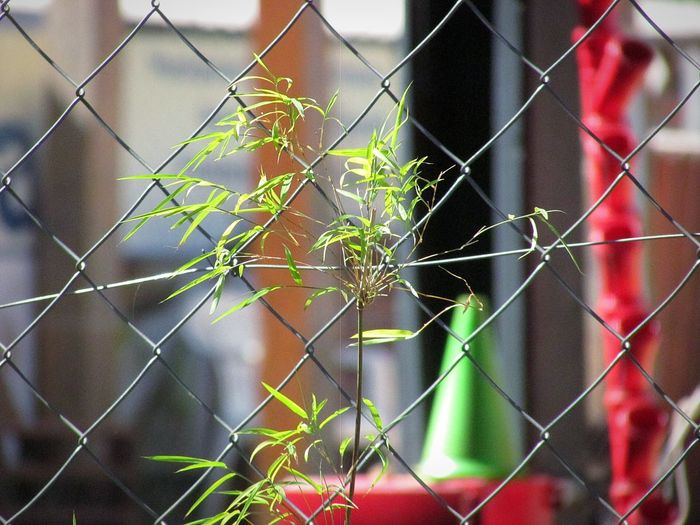 Leaf Protection Safety Chainlink Fence Close-up Plant Padlock Razor Wire Barbed Wire Creeper Plant Creeper Ivy Growing Chainlink Fence Overgrown Locked Hope Latch Love Lock Toadstool Young Plant Vine Fungus Faith Sharp Lock Barricade Safe Soil