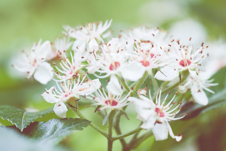 Close-up of white flowers growing on plant