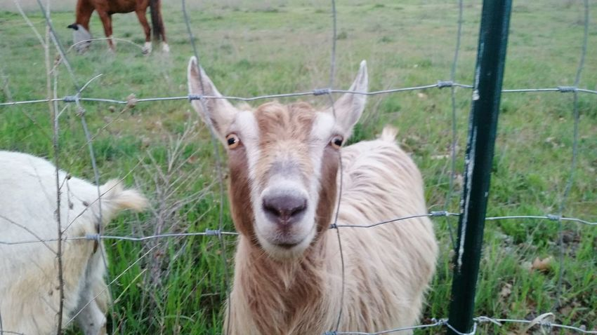 Walking Around and a Goat came to say hi, also a horse and a sheep, Animal Photography Animal_collection Animal Love Goatsarecool Eye4photography  Taking Photos Pacific Northwest  was pretty cool, hope you enjpy the shot, Adam O