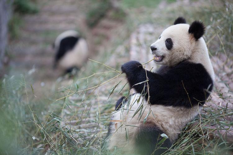 Cute panda eating twig in zoo