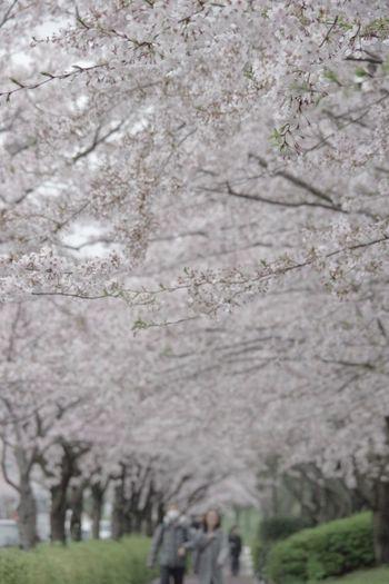 Pentax K-3 Springtime Cherry Tree 桜 春