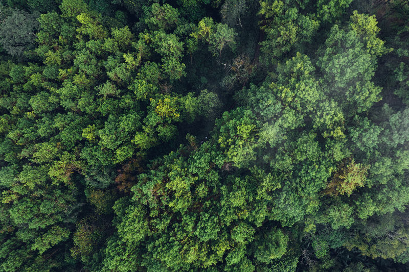 Pine forest in the mountains in the morning form above drone