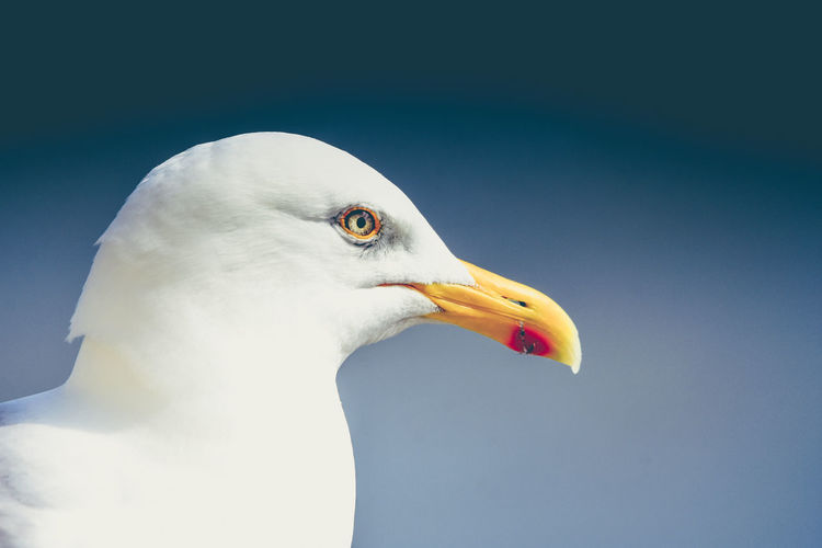 Animal Themes Animal Wildlife Animals In The Wild Beak Bird Close-up Day Nature No People One Animal Outdoors Seagull Sky