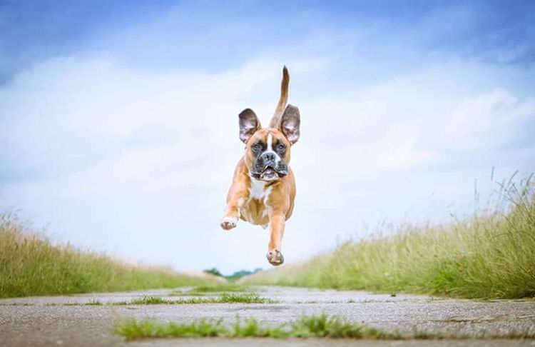 Hello World Jumpshot Hanging Out Boxerlove The Great Outdoors - 2017 EyeEm Awards Boxer Boxer Dog Boxersofinstagram Boxer Dogs Rule Boxers Boxersarebest Let's Go. Together.