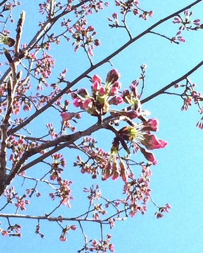 Cherryblossom Bud Spring Flower And Sky Pritty